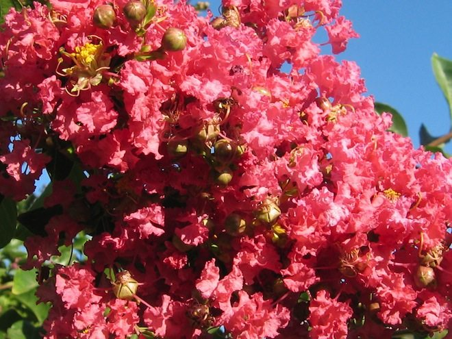 Beautiful Crape Myrtle Tree by Carolina Creations